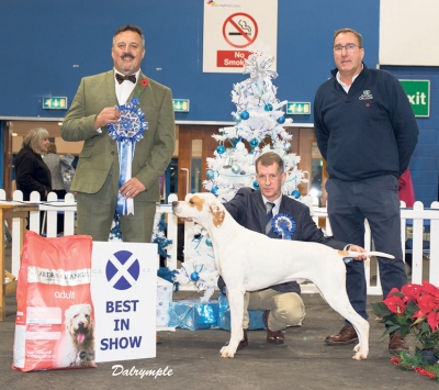 Best in Show at the Gundog Breeds Association of Scotland under Richard Stafford was the Pointer, Sh Ch Chesterhope Thrill Of Tchase (Imp Nz) owned by J & J O'Neil, handled by John Thirlwell, Chris Mellor represents the sponsor Arden Grange. He won his 40th CC on the day to equal the breed record.