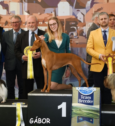 Saturday's BIS winner was the Pharaoh Hound, Bazinga Daenerys On A Dragon Quest, bred by SImon Tien Hansen, owned by Aurora de Poli. BIS Judge was Tibor Havelka (Slovakia).