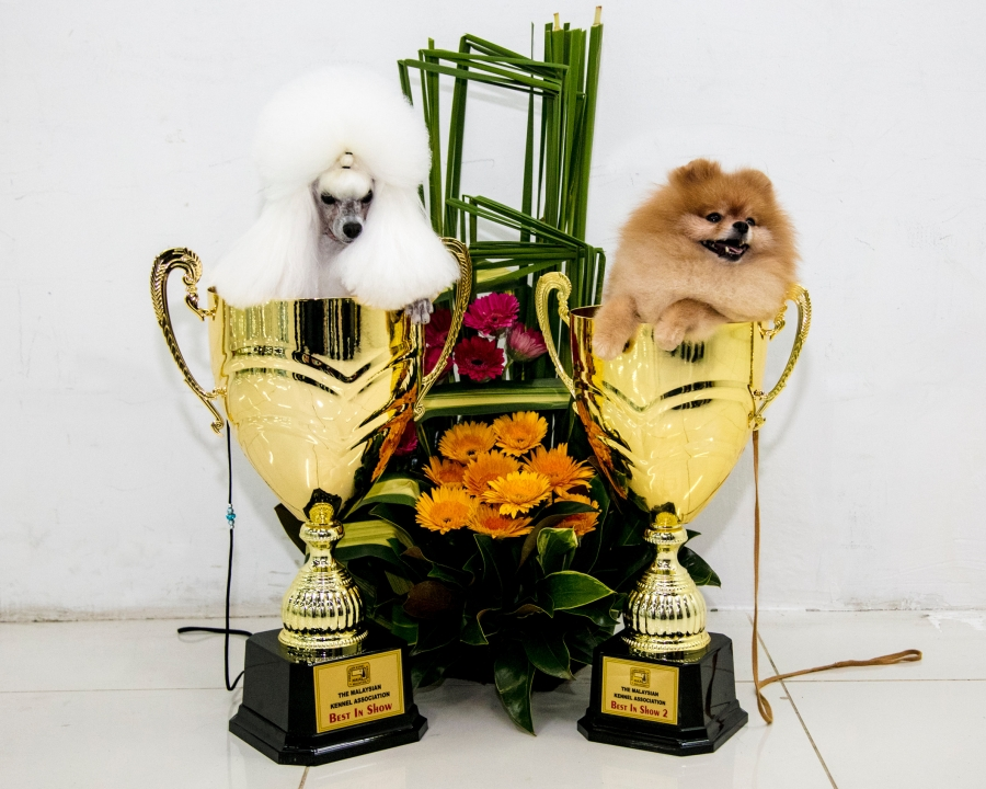 Malaysian Kennel Association 2017 - Best in Show 1 Miniature Poodle and BIS 2 went to the Pomeranian!