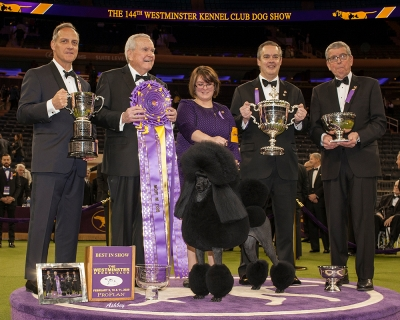 "The 144th Westminster Kennel Club Best in Show 2020 was awarded to Siba the Standard Poodle! ""GCHP CH Stone Run Afternoon Tea""."
