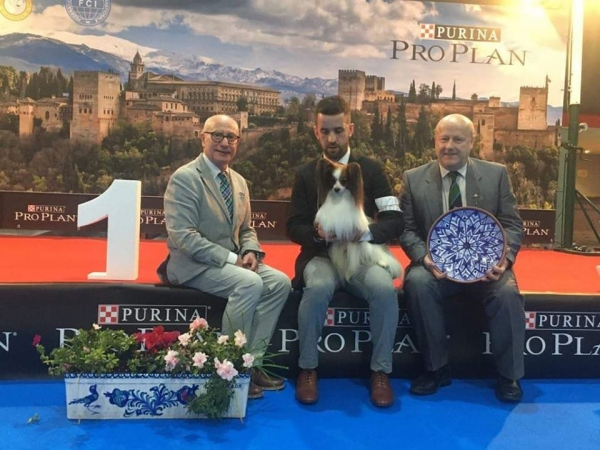 BIS at the National Show & the 36th International Show was the Papillon, Graceross Zalomes Biforis.