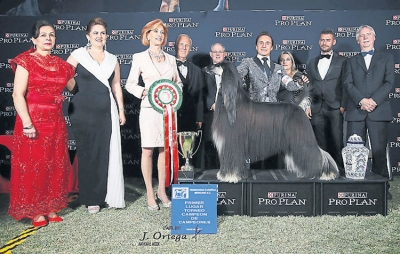Winner of the Tournament of Champions in Mexico was the Afghan Hound, Brilliant Nigh Jp Dear Zeus owned and handled by Juan Miranda Saucedo. This was judged on a points system with the final judge being Jan Reital from the USA, pictured here third from left with the organisers, fellow judges and sponsors.The event was part of the National Specialties Week organised by the Mexican Kennel Federation.