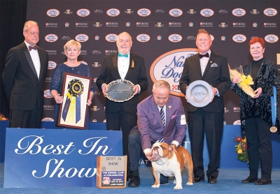 BIS award went to the Bulldog, GCHB Diamond Gold Majesu Pisko Bulls. Thor was bred in Peru, is owned by Kara Gordon, co-owned by Jonathan Flores & Nestor Chavez & presented by Eduardo Paris.